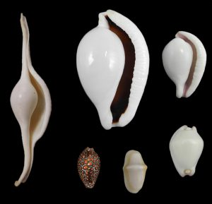 Ovulidae (False cowries)