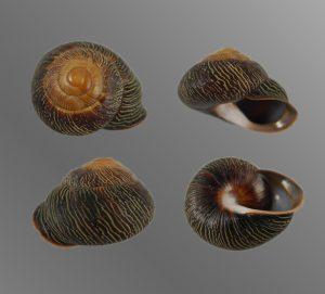 Coryda alauda canescens