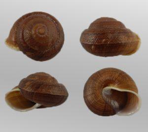 Camaena cicatricosa (Scarred camaena)