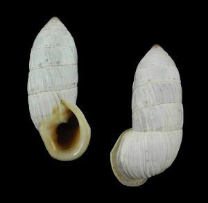 Cerionidae (Cerions)