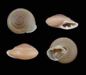 Pleurodonte lamarckii heteroclites