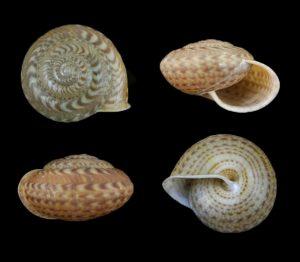 Solaropsidae (Sun snails)