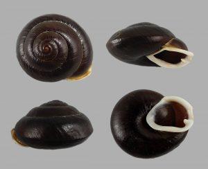Isomeria kolbergi