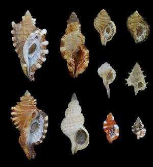 Ranellidae (Tritons)