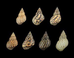 Littorinidae (Periwinkles)