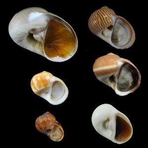Naticidae (Moon snails)