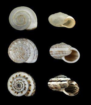 Hygromiidae (Leaf snails)